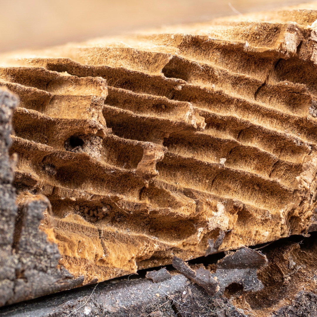 woodworm tunnels